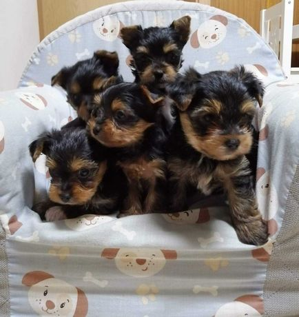 Yorkshire terrier ZHPR UCI