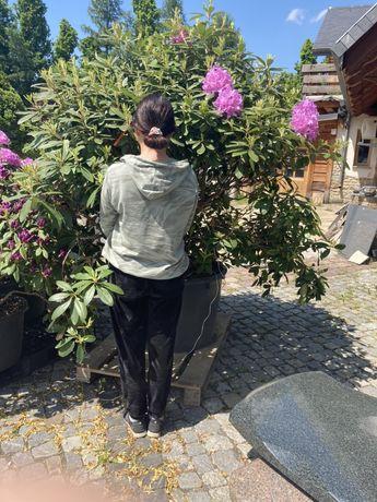Rododendron wysoki na 1,70 metra