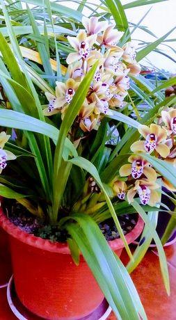 Vendo bolbos de orquideas em vaso