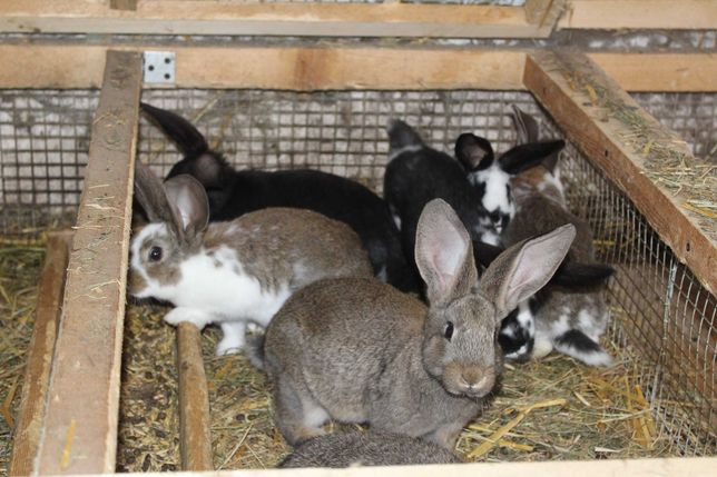 Sprzedam ośmiotygodniowe króliki