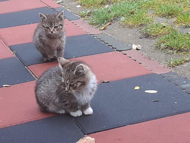 Kotki małe do oddania