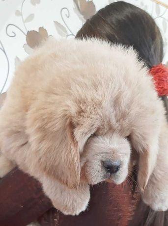 100%Китай.Элитные щенки тибетского мастифа