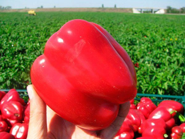 Семена сладкого перца Геракл. Плоды 250-300 грам