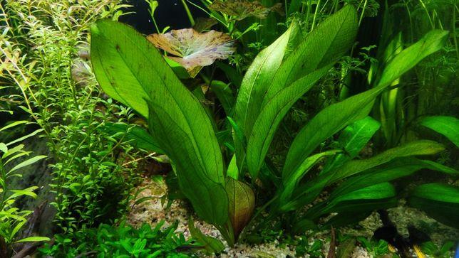 Żabienica Echinodorus duże
