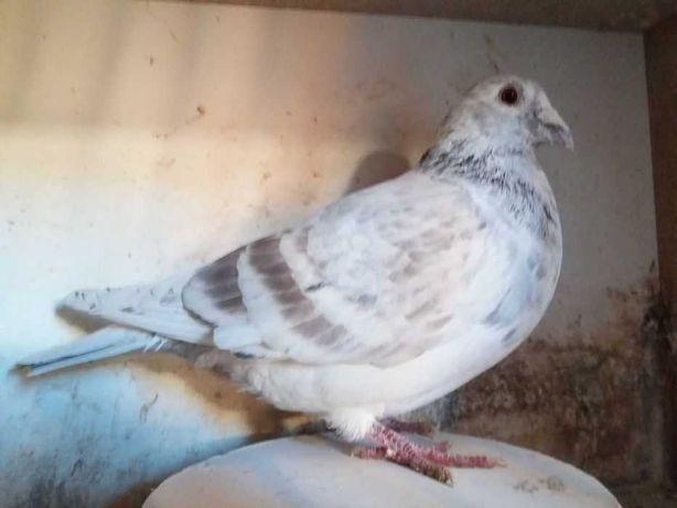 Gołąb gołębie pocztowe - samiec