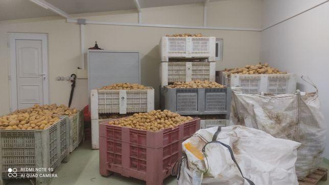 Batata agria á saca de 20kg.