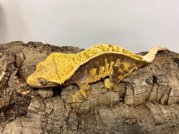 SAMICA gekon orzęsiony orzęsek dorosła do rozmnożenia do terrarium