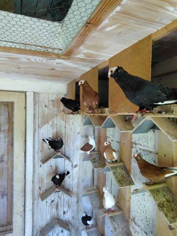 Gołębie ozdobne mewki i koroniarze końcate