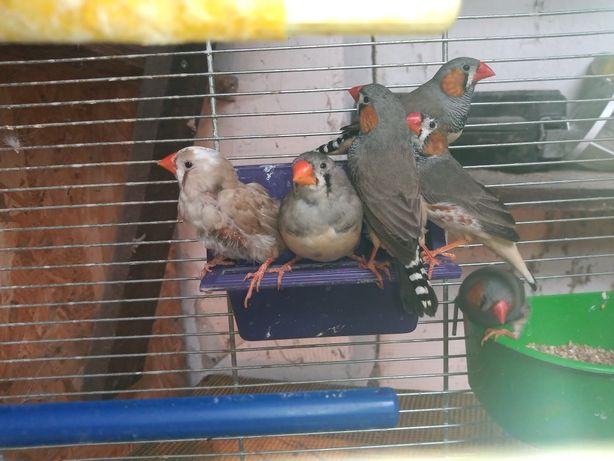 Sprzedam papugi nimfy różne