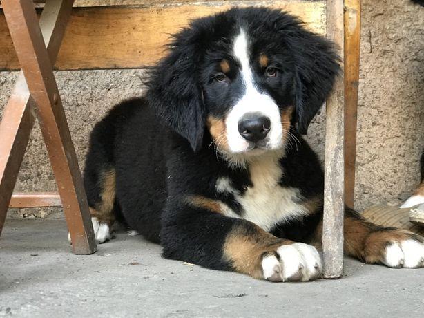 Cudowne Berneńskie Psy Pasterskie z rodowodem