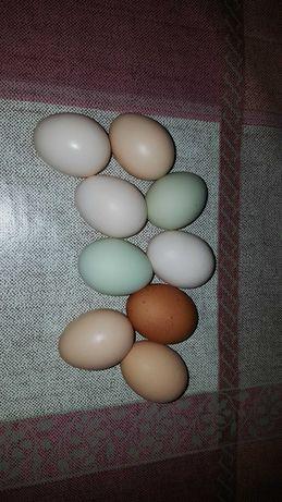 Ovos de galinhas criadas no campo