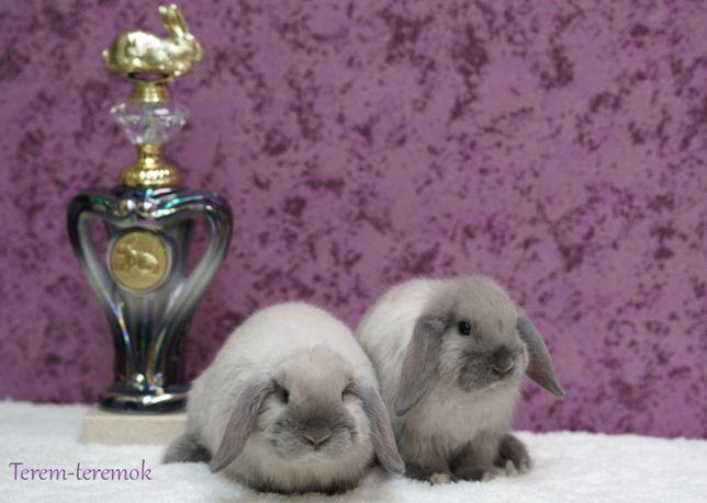 Карликовые кролики из питомника, NHD, с документами, голубой сиам