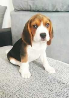 Beagle szczenięta rodowodowe