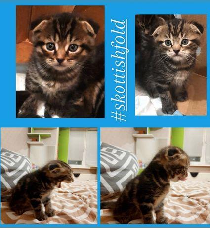 Шотлаедские вислоухие и прямоухие котята