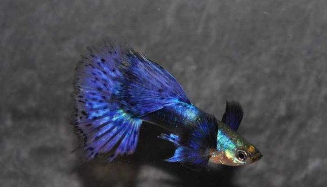 Guppy linhagem pura  Poecilia Reticulata  Calico Blue /Jumbo