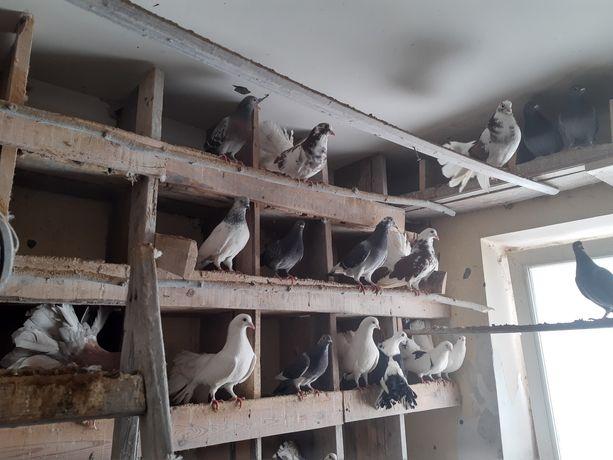 Gołębie sprzedam