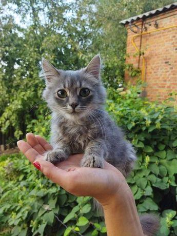 Отдам котёнка-мальчика Дымка