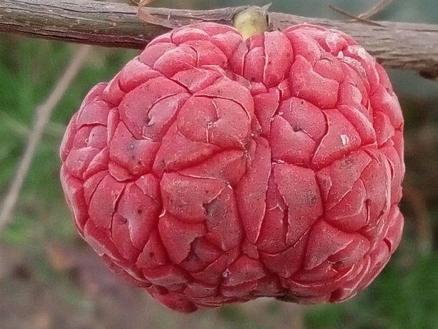 Кудрания СОРТОВАЯ привитая («клубничное дерево», «малиновое дерево»)