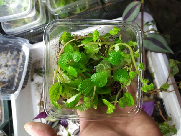 Pilea nummulariifolia roślina do terrarium szybko rośnie zielona