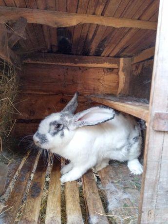 Продам кроля
