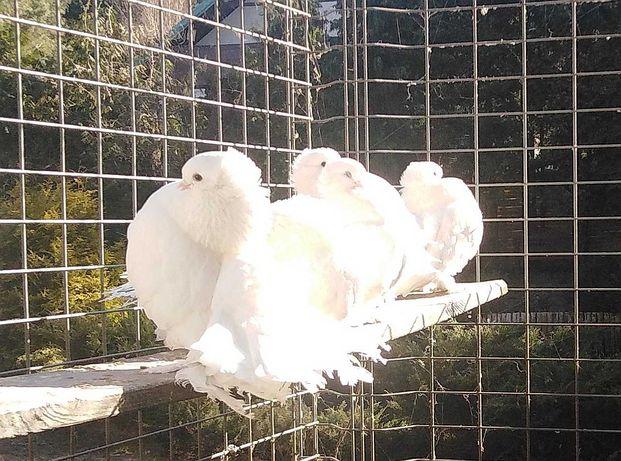 Gołębie ozdobne rasowe Omskie Syberyjskie kaczuny rostowskie