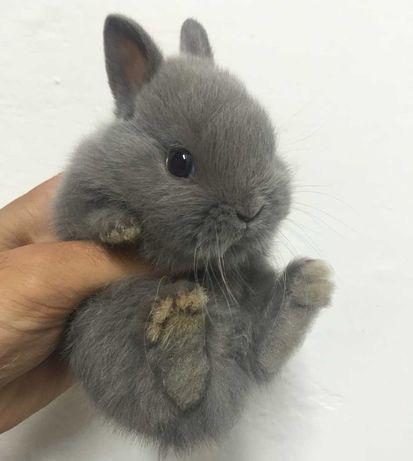 KIT completo coelhos anões angorá e minitoy