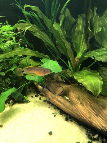 Głowaczyk barwny 10 cm