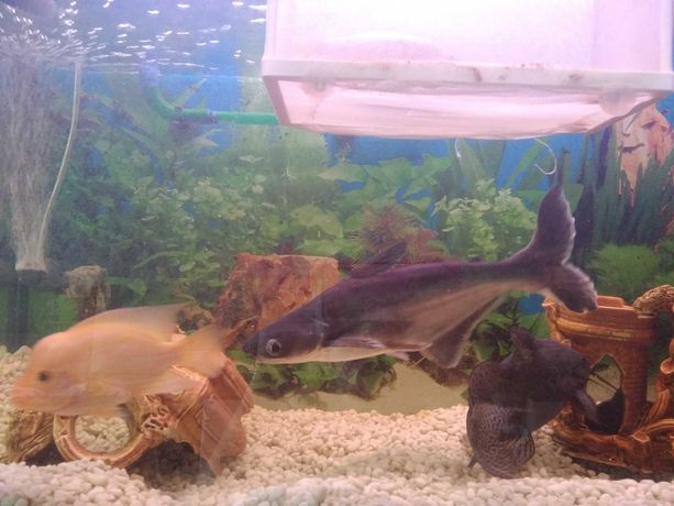 Акулий сом (пангасиус)