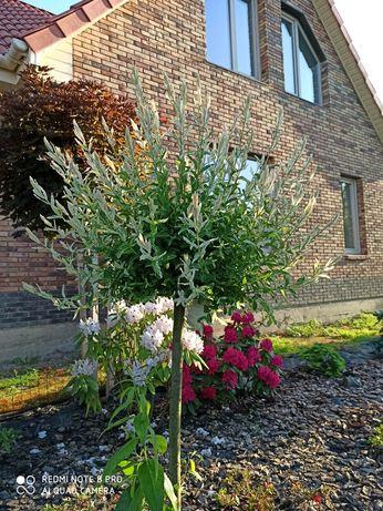 Привиті рослини на штамбі. Верба, модрина,робінія.