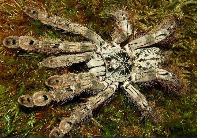 "Паук Heteroscodra maculata ""ЯД!"", самка."