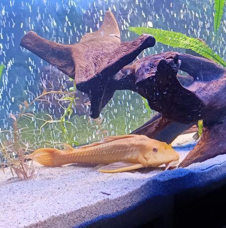 Zamienię glonojada na inne rybki
