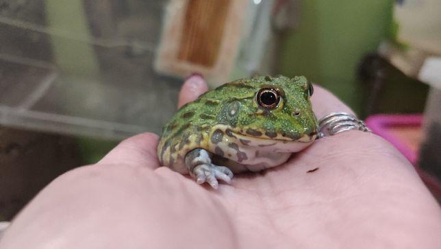 Зеленые лягушки Водонос от 6 см и более