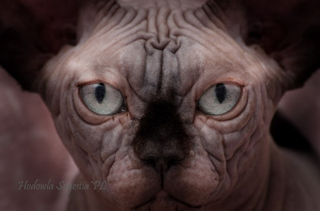 Doskonałe kocięta - SUGESTIA * PL odbiór w lutym
