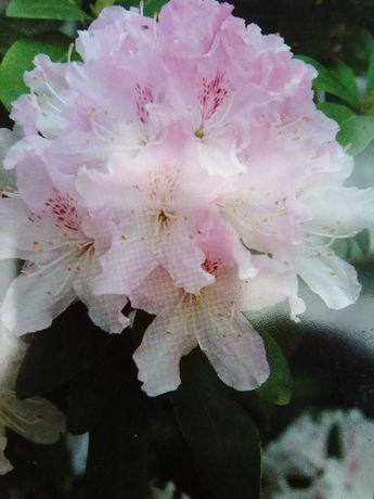 Rhododendron 'Cheer' Jasno Rózowy
