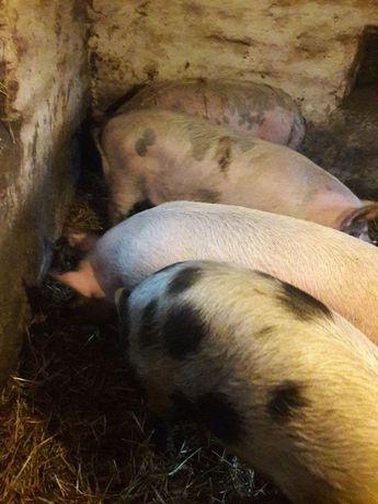 Продам свиней, поросят