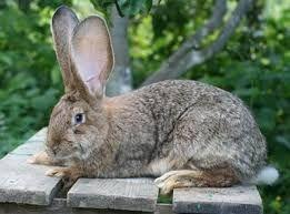 Продам кроля, самець