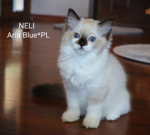 Prześliczna kotka rasy ragdoll