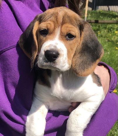 Suczka Beagle