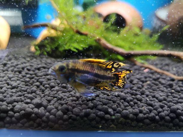 Pielęgniczka Kakadu (Apistogramma cacatuoides) CatFish Klonowica 22a