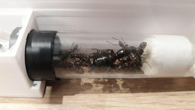 Mrówki Camponotus ligniperda Q2020 +30w