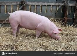 Свинне М'ясо