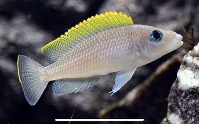 Neolamprologus caudopunctatus casal reprodutor