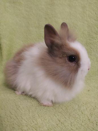 Króliki miniaturki , królik miniaturka