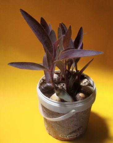 Vaso Ecologico Planta Decorativa Roxa Tradescantia Pallida Purpurea