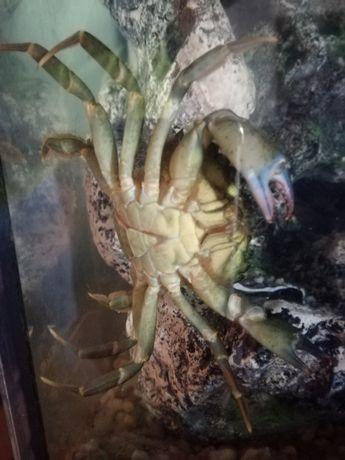 ( RESERVADO ) Vendo caranguejos de água doce para aquário