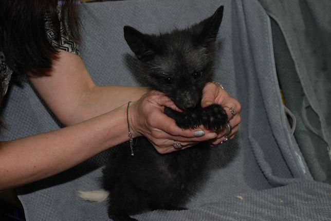 Домашняя ручная чернобурочка, щенки черные лисятка с Питомника