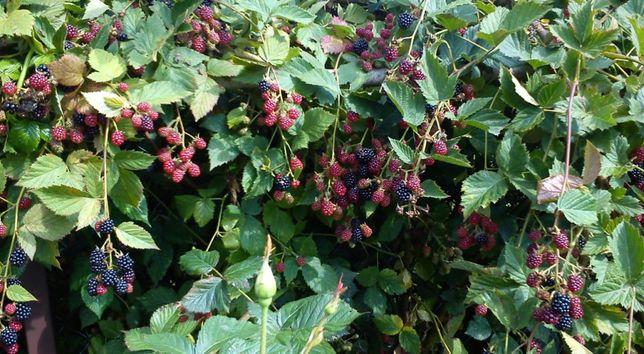 HIT! Sadzonki Jeżyny Bezkolcowej! Rożne odmiany! Duże i słodkie owoce!