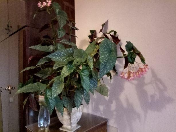 Большая 105см цветущая бегония коралловая / комнатное растение