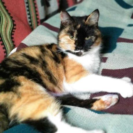 Отдам кошку подростка в хорошие руки котята котенок трехцветная