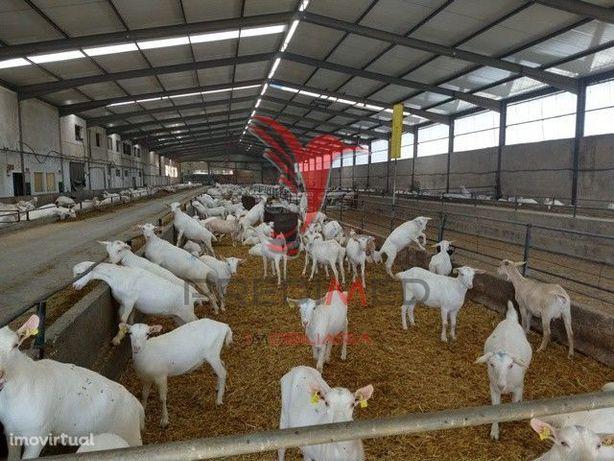Exploração de cabras de leite Ulme- Chamusca
